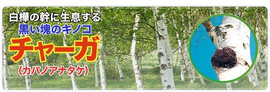 白樺の幹に生息する黒い塊のキノコチャーガ